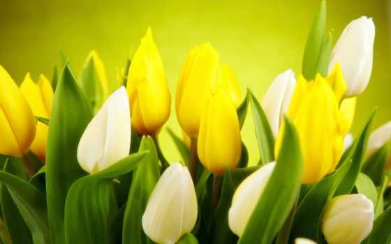 тюльпаны, белые, цветы