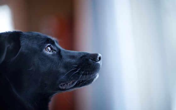 собака, черная, морда