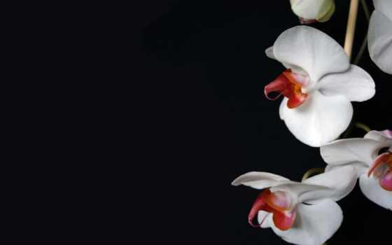 орхидеи, цветы, орхидея