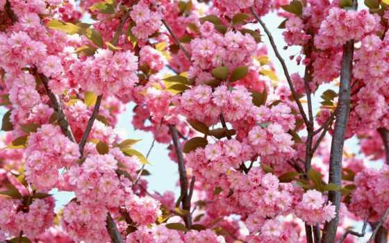цветы, photography, flowers, bloom, природа, cherry, розовый, мл,
