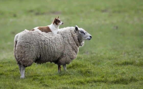sheep, собака, стадо, овце, овец, агент, zhivotnye, rústica, equity, deviantart,