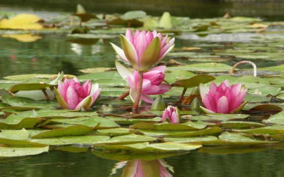 lotus, water, лягушка