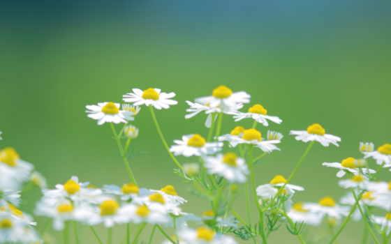 ромашки, цветы, белые