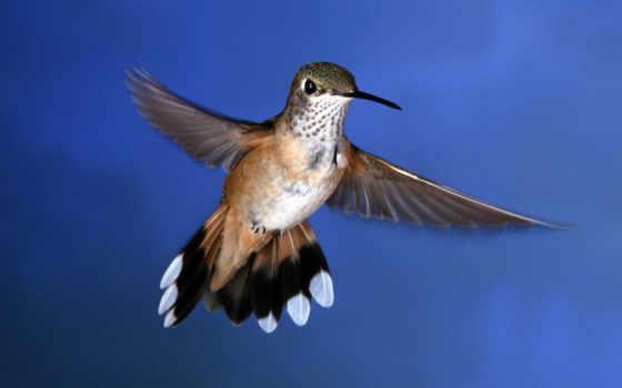 колибри, птицы, птичка