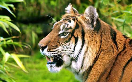тигр, profile, морда, ухмылка, стена, крыша, тигры, trụ, большая, кот,