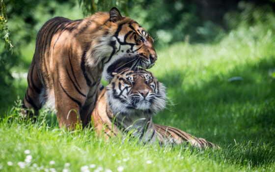 тигр, природа, демотиватор, summer, хороший, тыс, color, убойный, prank, amur