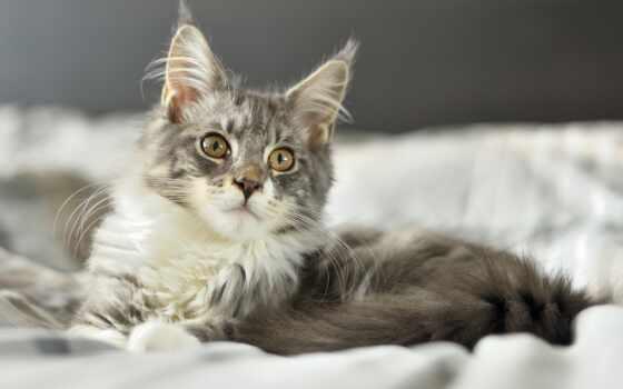 ложь, кот, кровать, котенок, взгляд, пушистый, animal, kuna, mein, картинка