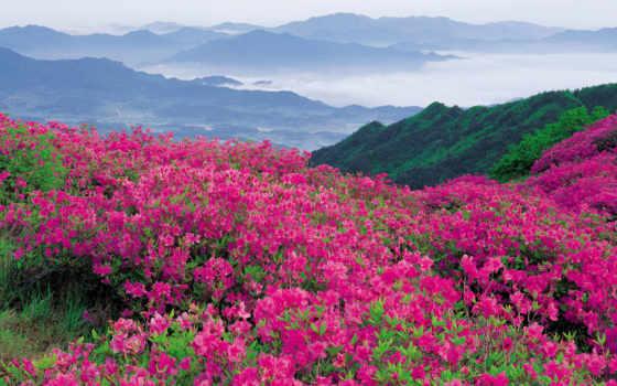 цветы, горные