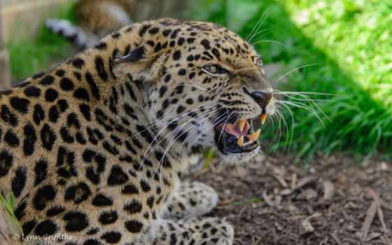 оскал, леопард, ipad