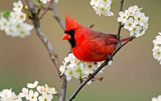 кардинал, red, птица