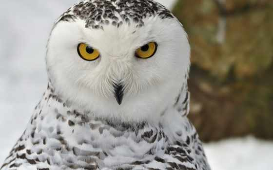 сова, взгляд, птица, совы, снежная,