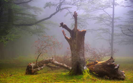 природа, лес, туман