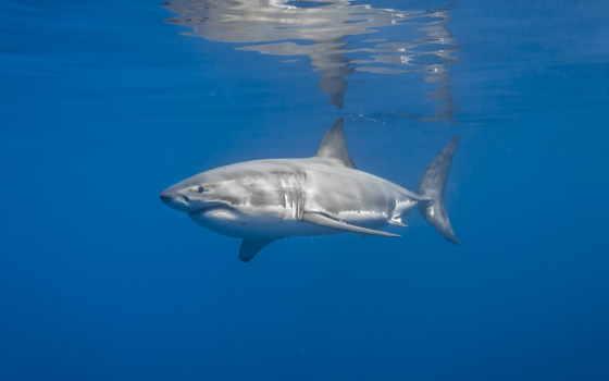 акула, fan, zhivotnye, море, теме, акулы, photos,