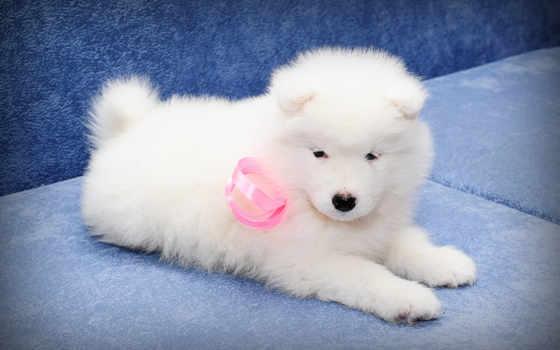 samoyed, собака, white, щенок, пушистый, bjelkier, images, собаки, stock, dogs, puppies,