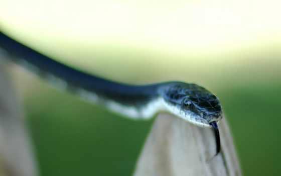 snake, змеи, синяя, песчаная, язык,