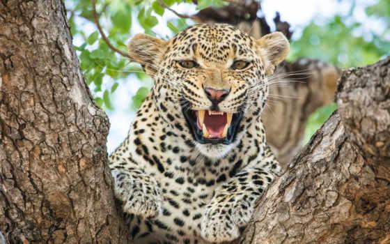 леопард, widescreen,