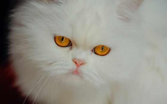 кот, взгляд, persian, white, морда, пушистый, смотреть