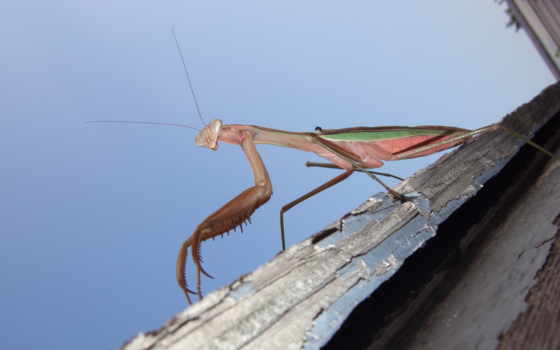 mantis, praying