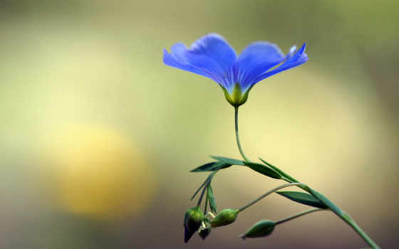 голубой, len, цветок, бутоны,