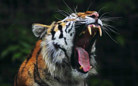 тигр, пастью, открытой, пасть, клыки,