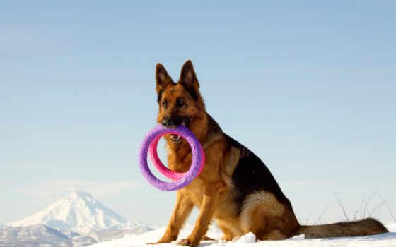 owczarek, niemiecki, zabawka, góry, zima, zhivotnye, pies, tapety, owczarka, антидепрессанты,
