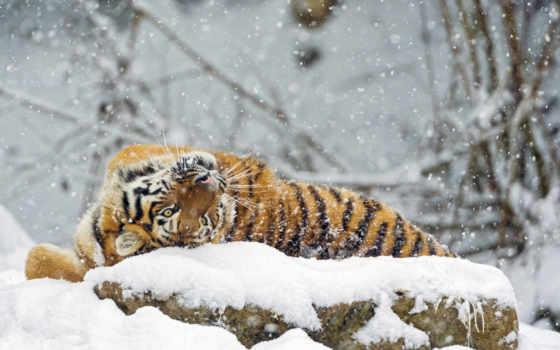 winter, тигр, снег, хищник, тигры, кот, большая, amur, zhivotnye,