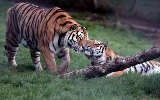 тигры, shwary, тигр