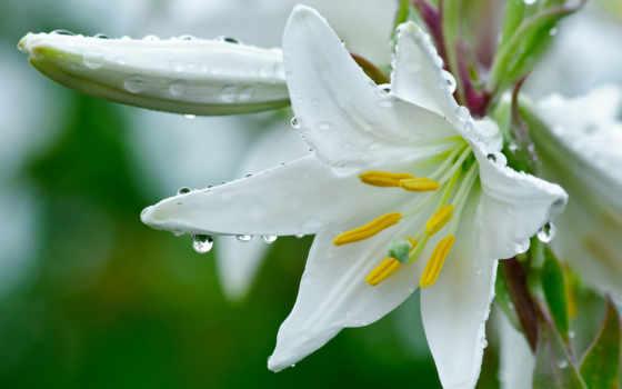лилия, белая, цветок