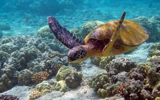 кораллы, kingfish, черепаха