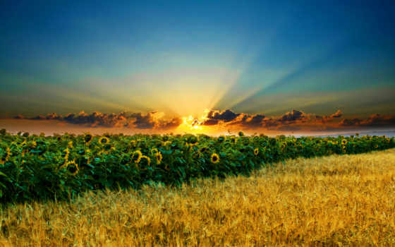 поле, подсолнухи, oblaka, sun, небо, колосья, закат, rays, вечер,