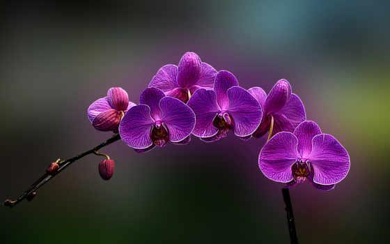орхидеи, орхидея, picdom, разных, branch, фиолетовая, cvety,