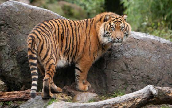 тигр, стоя, кот