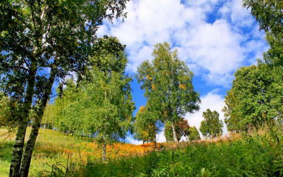 березы, summer, береза, trees, природа, трава, телефон, повислая, mobile,
