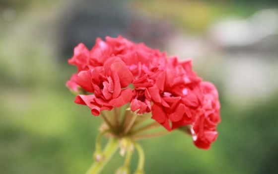 красный, цветок