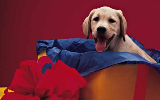 labrador, retriever, собаки, зооклубе, zooclub, postcards, красивая, pet,