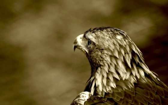 орлан, хищник, птица