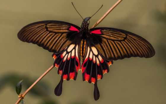 бабочки, бабочка, крылья, papilio, swallowtail, мотылек,