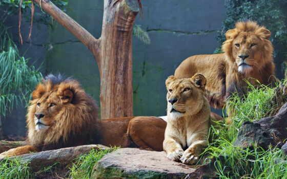lion, animal, le-e, оригинал, ручной, ipad, смена, хищник, pazlyi, львица