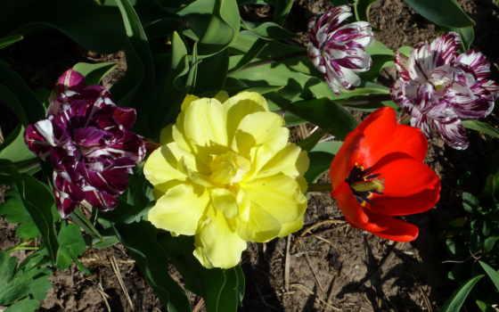 тюльпаны, цветы, tulips