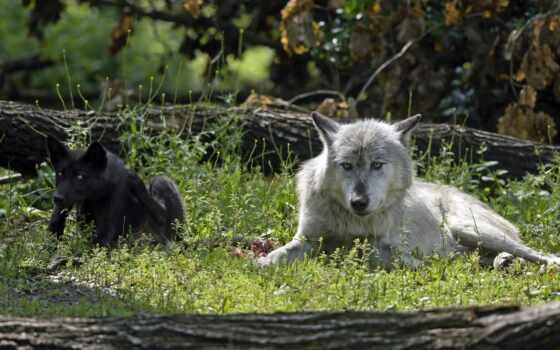 волки, zhivotnye, этом