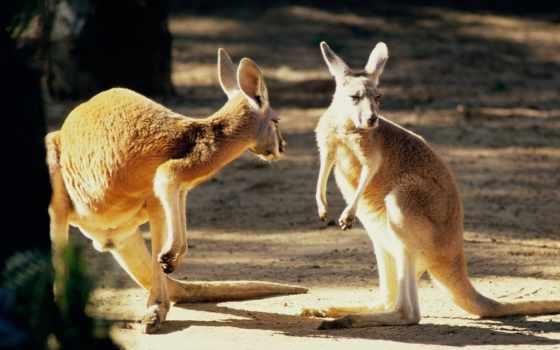 kangaroo, zhivotnye, картинка