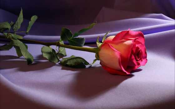 red, роза, this, roses, природа,