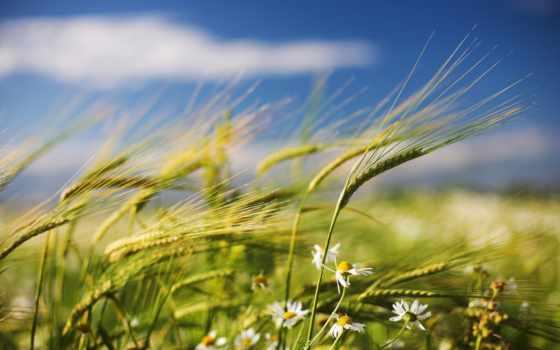 ромашки, поле, ветер, summer, колоски, колосья,