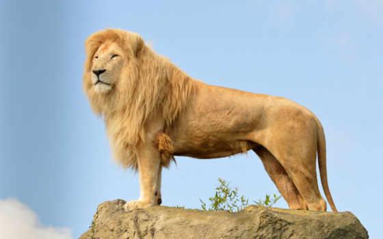 lion, львы, грива, wild, кот, king, zhivotnye,