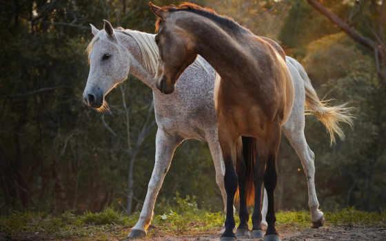 horses, лошадь, два, desktop, best, серая,