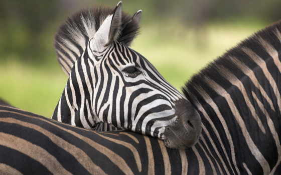 zebra, полоса, white, black, но, animal, simple, вопрос, one