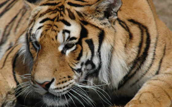 тигр, tiger Фон № 6410 разрешение 1680x1050