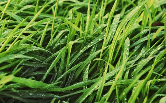 трава, роса