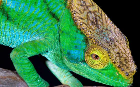 images, chameleon, zhivotnye