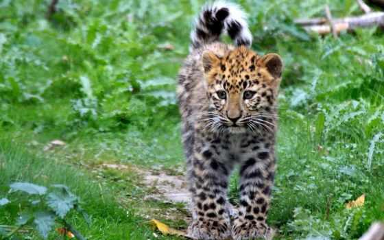 леопард, пятна, июл